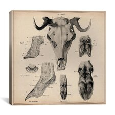 """Goat Head Anatomy"" Canvas Wall Art by Wilhelm Ellenberger and Hermann Baum"