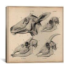 """Goat Head Skeleton Anatomy"" Canvas Wall Art by Wilhelm Ellenberger and Hermann Baum"