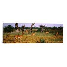 Panoramic 'Herd of Impalas Grazing in Moremi Wildlife Reserve, Botswana' Photographic Print on Canvas