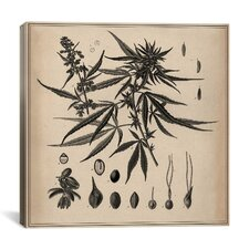 Male Cannabis Sativa Scientific Drawing Canvas Wall Art