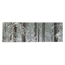 Panoramic Snow Covered Ponderosa Pine Trees in a Forest, Indian Ford, Oregon Photographic Print on Canvas