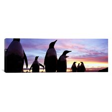 Panoramic Group of Gentoo Penguins, Falkland Islands Photographic Print on Canvas
