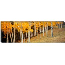 <strong>iCanvasArt</strong> Aspen Trees in a Field, Ouray County, Colorado, USA Canvas Wall Art