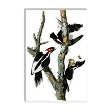 """Ivory-billed Woodpecker, 1829"" Canvas Wall Art by John James Audubon"