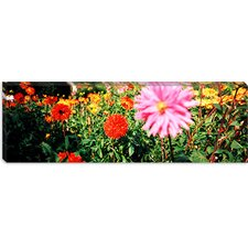 Dahlia flowers, Stuttgart, Baden-Wurttemberg, Germany Canvas Wall Art