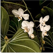 """White Orchid on Leaves - Flowers"" Canvas Wall Art by Harold Silverman"