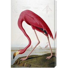 'American Flamingo' by John James Audubon Stretched Canvas Art