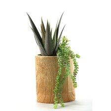 Aloe Plant and Hanging Sedum Floor Plant in Pot