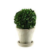 <strong>D & W Silks</strong> Preserved Boxwood Ball Floor Plant in Pot