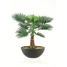 Miniature Bismarka Tree In Oval Ceramic Planter