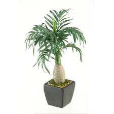 Miniature Mascaran Tree in Square Ceramic Planter