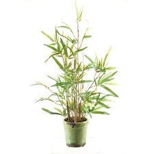 Mini Bamboo Tree in Ceramic Planter