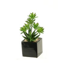 Mini Dracaena and Aloe in Ceramic Planter