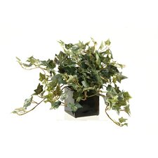 Jamaican Ivy in Ceramic Planter