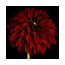 Black and Red Dahlia Canvas