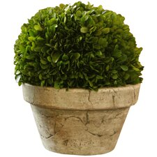 Preserved Boxwoods Large Preserved Greens Ball Desk Top Plant in Pot
