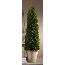 Cypress Potted Topiary