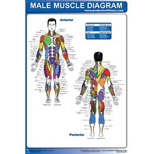 <strong>Productive Fitness Publishing</strong> Male Muscle Diagram Poster